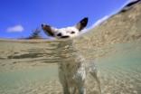 Lagoon Cattle Dog
