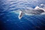 Whale In Tonga