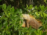 Iguana On The Sittee, River, Belize