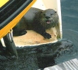 River Otters on Sugar Scoop