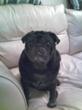 Fred The Old Pug