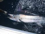 Tag & Release Black Marlin Queensland Australia