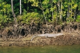 "Swamp Dogs in the Daintree river, ""CRIKEY"""