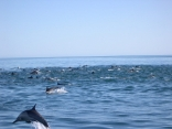 Dolphins near Loreto Mexico