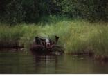 Moose encounter on Isle Royal Lake Superior