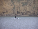 Female Orca?