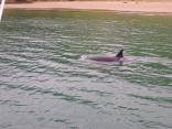 Orca or dolphin??