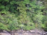 A NZ native tree called Rimu.
