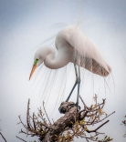 Great Egret In Courtship Plumage