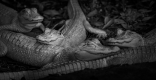 Albino Alligators