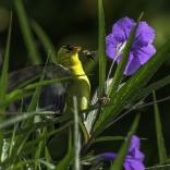 Bee Vs Goldfinch