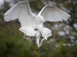 Great Egret Pair Mating