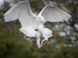 Great Egret Pair Mating
