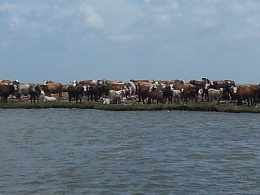 Click image for larger version  Name:cows on <a title=