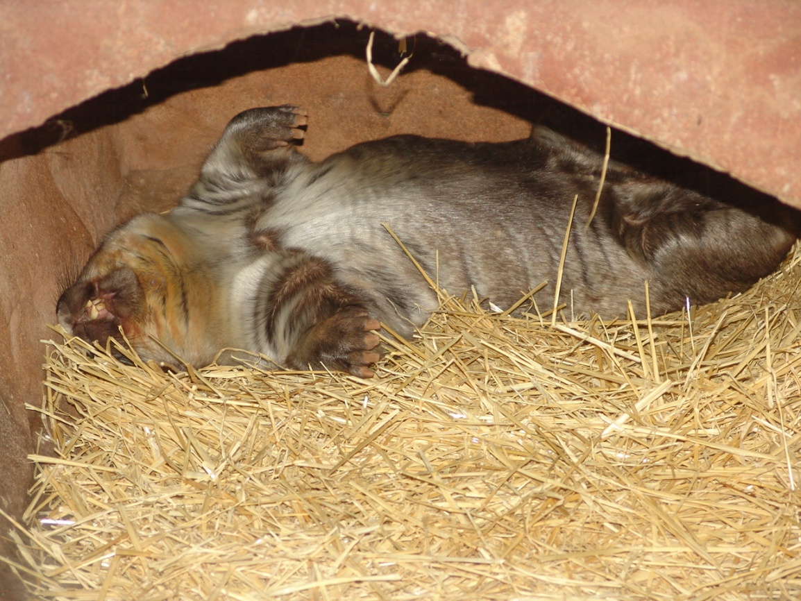 Click image for larger version  Name:Wombat-Sleeping-Gallery-HD-Wallpaper.jpg Views:132 Size:425.2 KB ID:103566