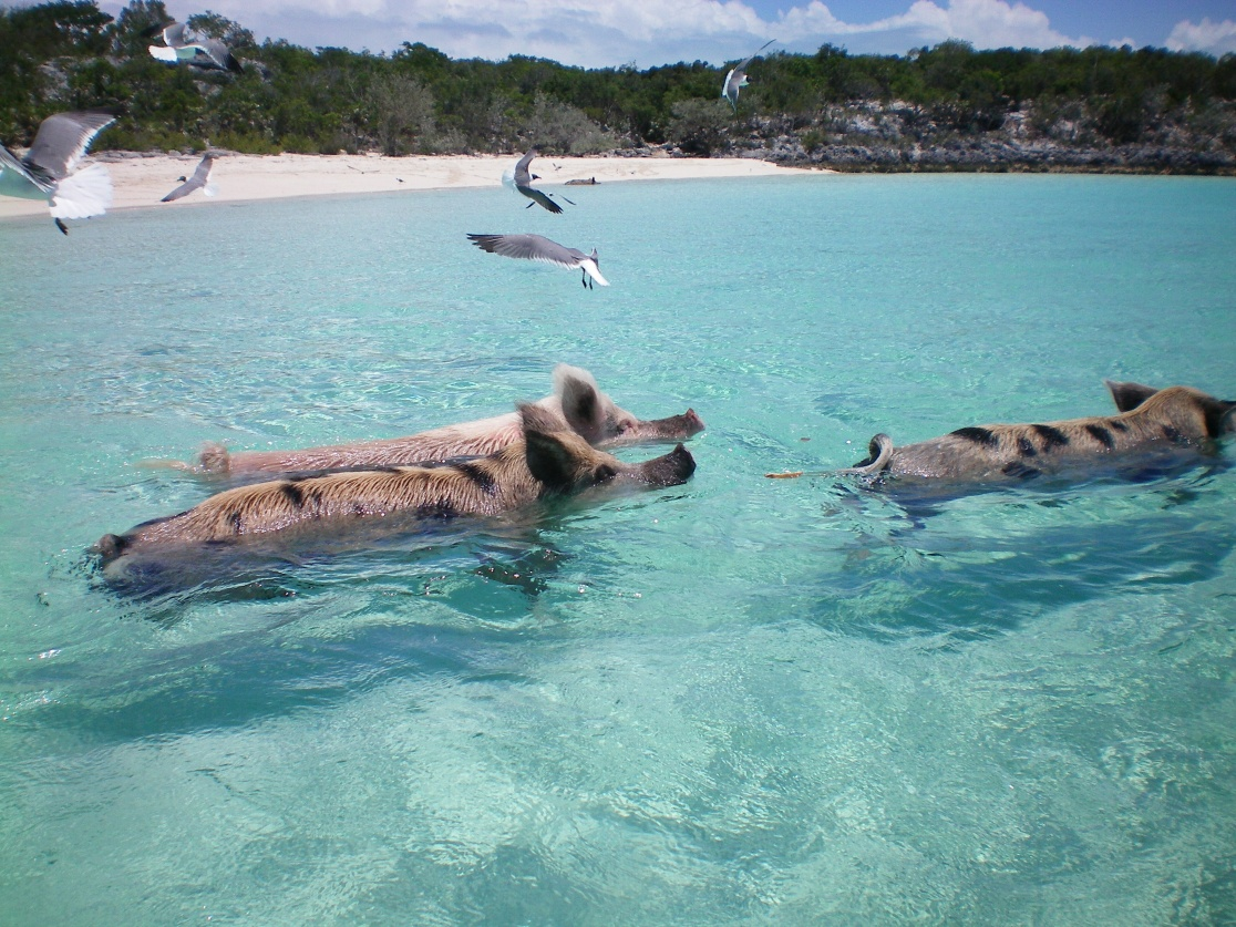 Click image for larger version  Name:swimming pigs 2.jpg Views:108 Size:421.0 KB ID:105206