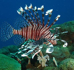 Click image for larger version  Name:lionfish.jpg Views:180 Size:161.6 KB ID:10591