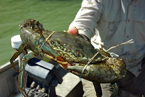 Click image for larger version  Name:gallery-mud-crab.jpg Views:125 Size:38.4 KB ID:108449