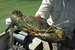 Click image for larger version  Name:gallery-mud-crab.jpg Views:146 Size:38.4 KB ID:108449