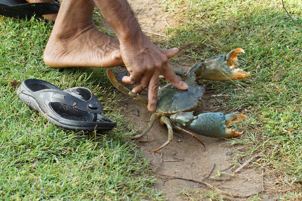 Click image for larger version  Name:Tied_mud_crab.jpg Views:120 Size:450.0 KB ID:108450