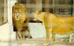 Click image for larger version  Name:Female lion yelling.jpg Views:121 Size:13.6 KB ID:109562