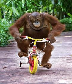 Click image for larger version  Name:an-orangutan-monkey-riding-a-bike.jpg Views:125 Size:17.5 KB ID:116412