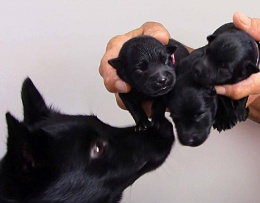 Click image for larger version  Name:Schipperke puppies 1day old -1.jpg Views:414 Size:49.5 KB ID:138422