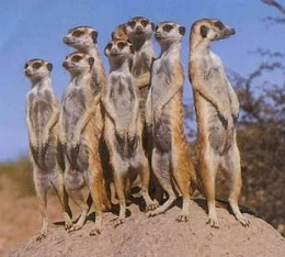 Click image for larger version  Name:meercats.jpg Views:100 Size:21.7 KB ID:15600