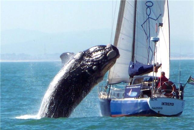 Click image for larger version  Name:whale intrepid 1.jpg Views:447 Size:37.3 KB ID:17872