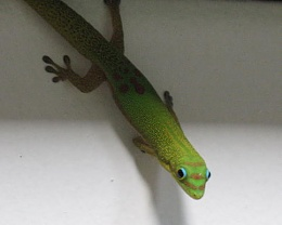 Click image for larger version  Name:Gecko 5.jpg Views:104 Size:23.1 KB ID:18972