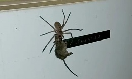 Click image for larger version  Name:spidermouse.jpg Views:173 Size:12.7 KB ID:198313