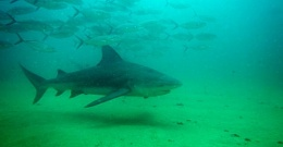 Click image for larger version  Name:shark.jpg Views:130 Size:22.7 KB ID:201167