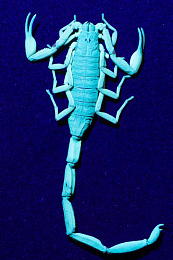 Click image for larger version  Name:Scorpion%20UV-05907.jpeg Views:9 Size:47.4 KB ID:211279