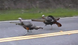 Click image for larger version  Name:armed_turkeys.jpg Views:195 Size:70.3 KB ID:213170