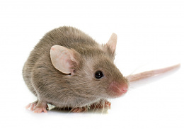 Click image for larger version  Name:mouse.jpg Views:24 Size:176.3 KB ID:227043