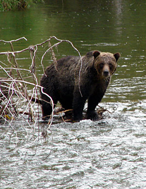 Click image for larger version  Name:grizzly.jpg Views:203 Size:49.2 KB ID:23884