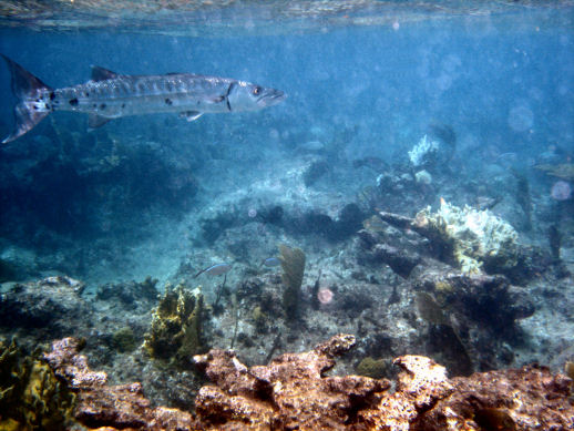 Click image for larger version  Name:barra-2 on reef-20%.jpg Views:85 Size:59.5 KB ID:284