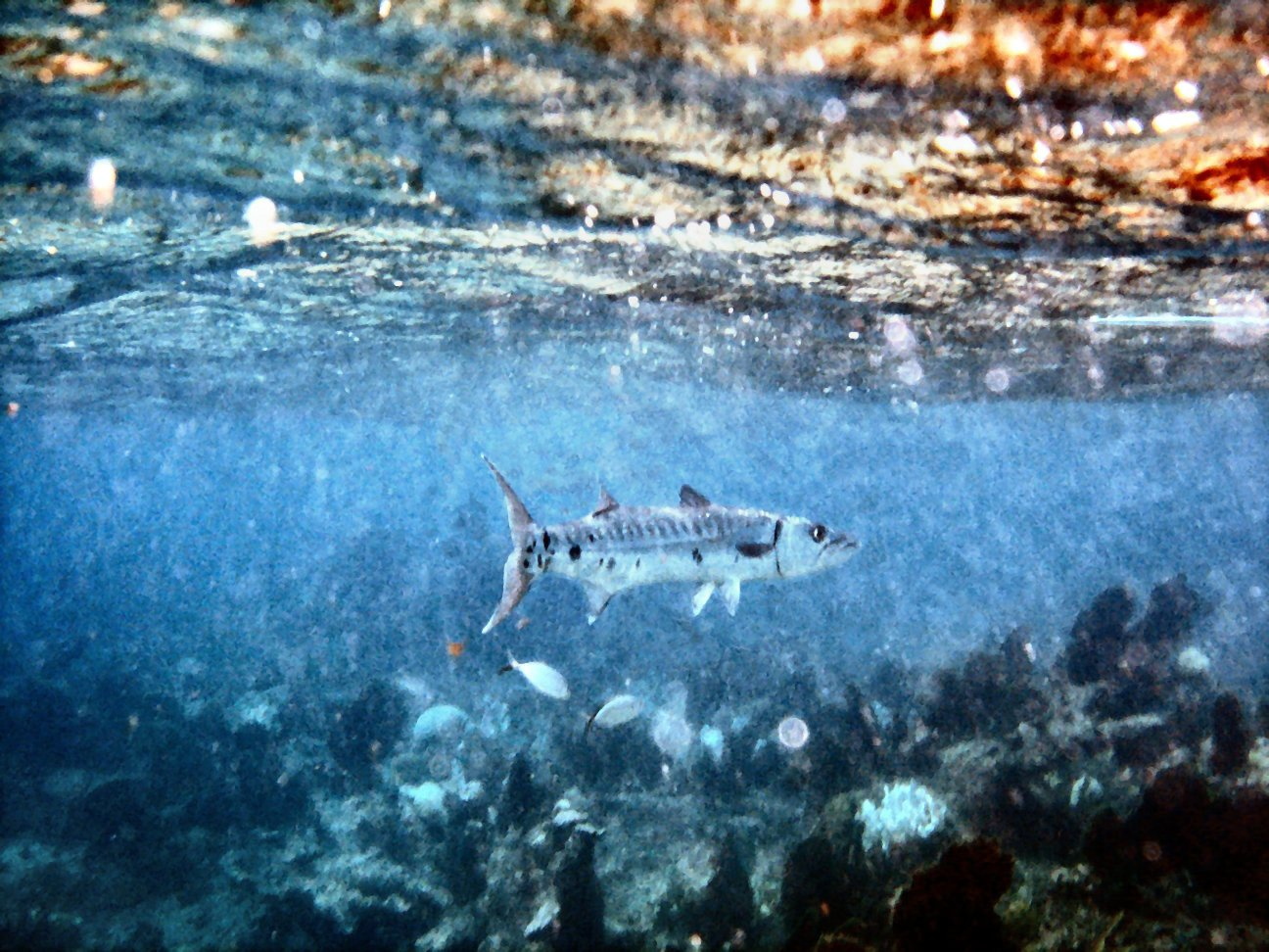 Click image for larger version  Name:barra on reef-50%.jpg Views:76 Size:272.5 KB ID:285