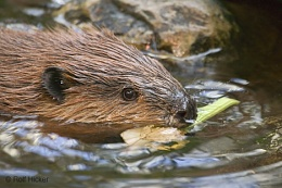 Click image for larger version  Name:beaver-T0269.jpg Views:71 Size:86.0 KB ID:31440