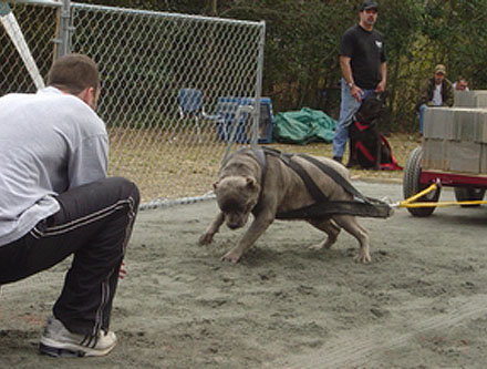 Click image for larger version  Name:cane-corso-photo-gallery-pics-7.jpg Views:78 Size:61.7 KB ID:32264