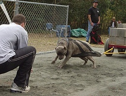 Click image for larger version  Name:cane-corso-photo-gallery-pics-7.jpg Views:104 Size:61.7 KB ID:32264