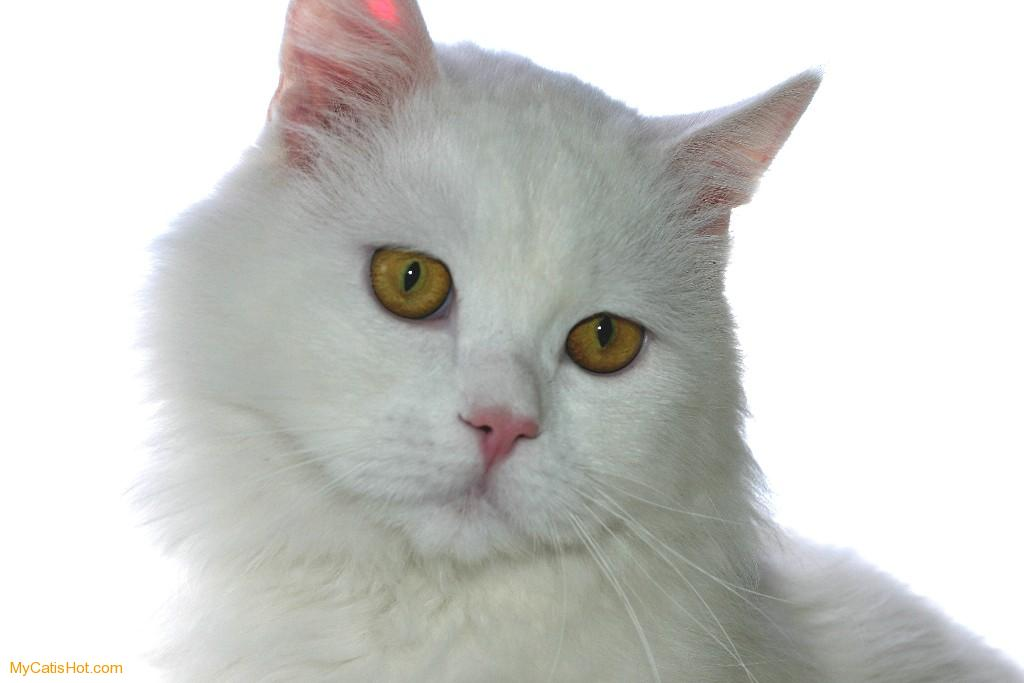 Click image for larger version  Name:White-Cat-1.jpeg Views:168 Size:44.3 KB ID:34314