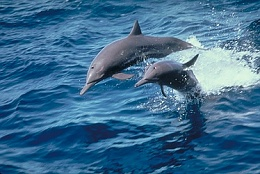 Click image for larger version  Name:Spinner-Dolphin-806.jpg Views:143 Size:51.5 KB ID:35592