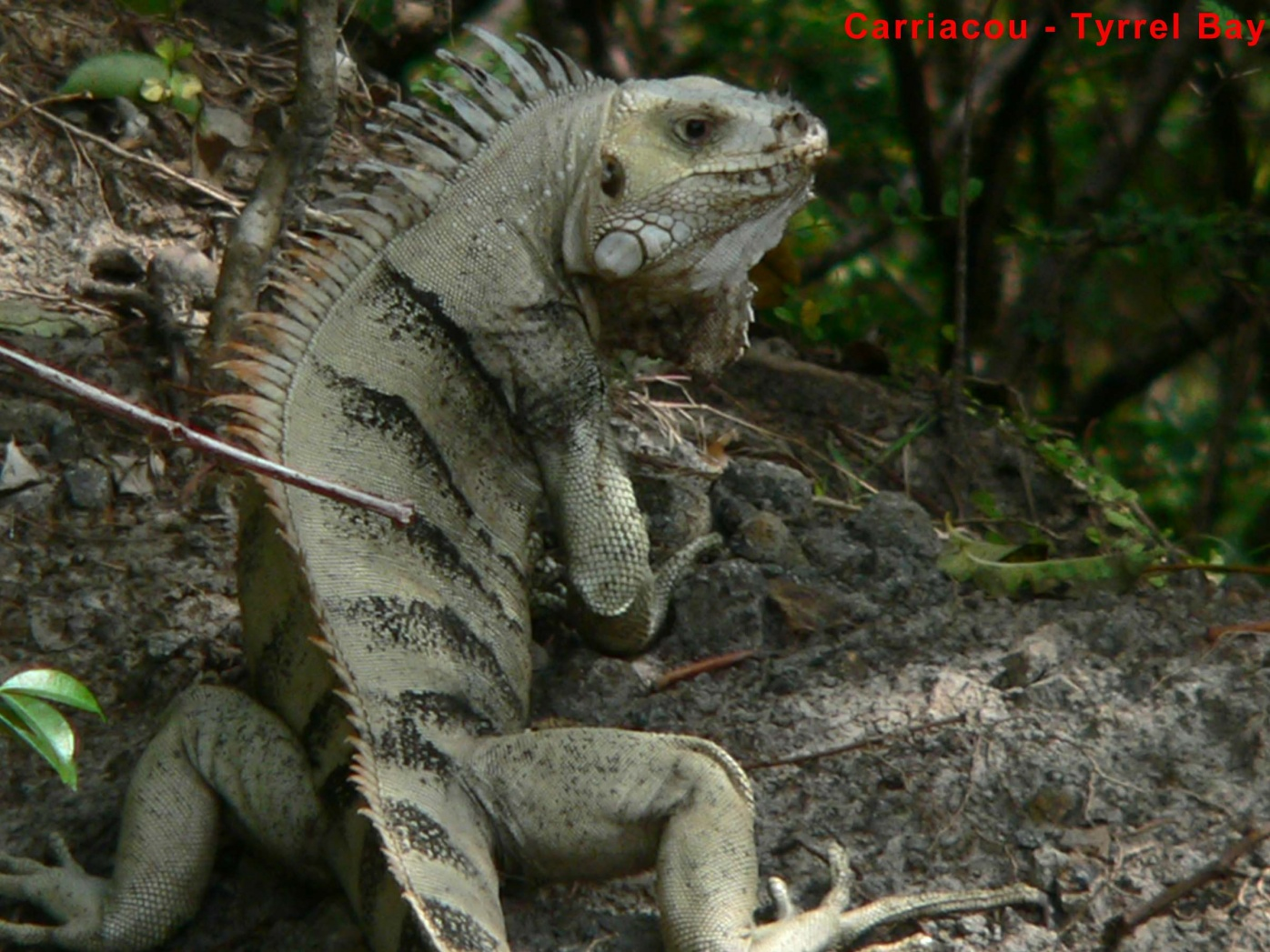 Click image for larger version  Name:CarriacouIguana 045.jpg Views:62 Size:440.8 KB ID:41274