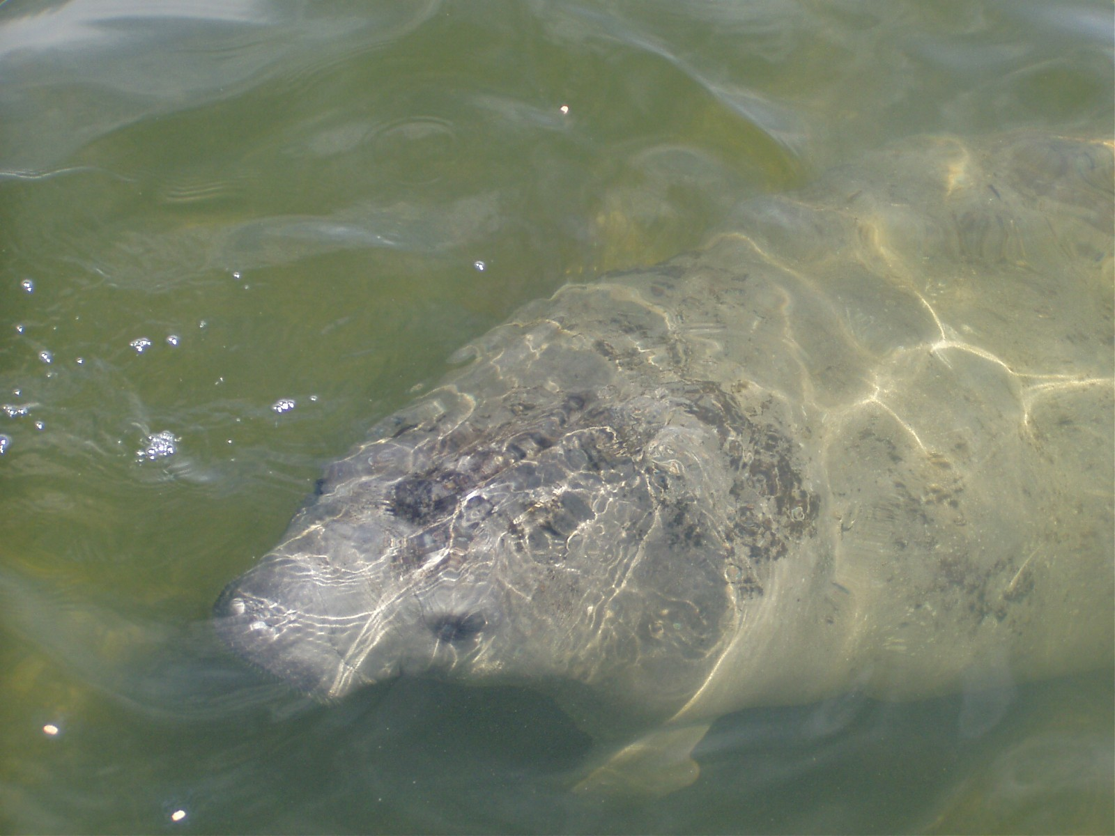 Click image for larger version  Name:WW Manatee003.jpg Views:214 Size:286.0 KB ID:4629