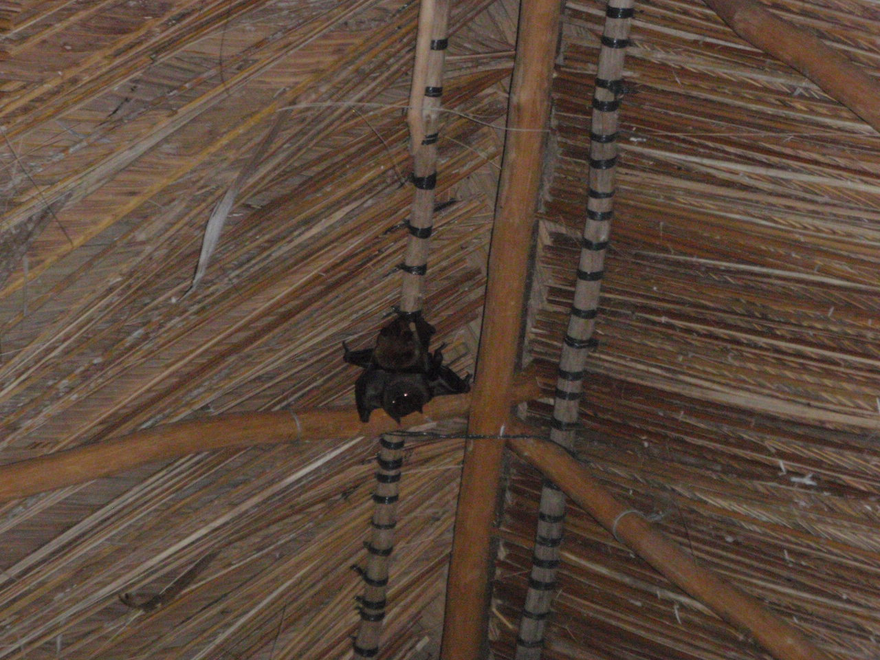 Click image for larger version  Name:Fruit Bats P9170009.JPG Views:62 Size:297.2 KB ID:49307