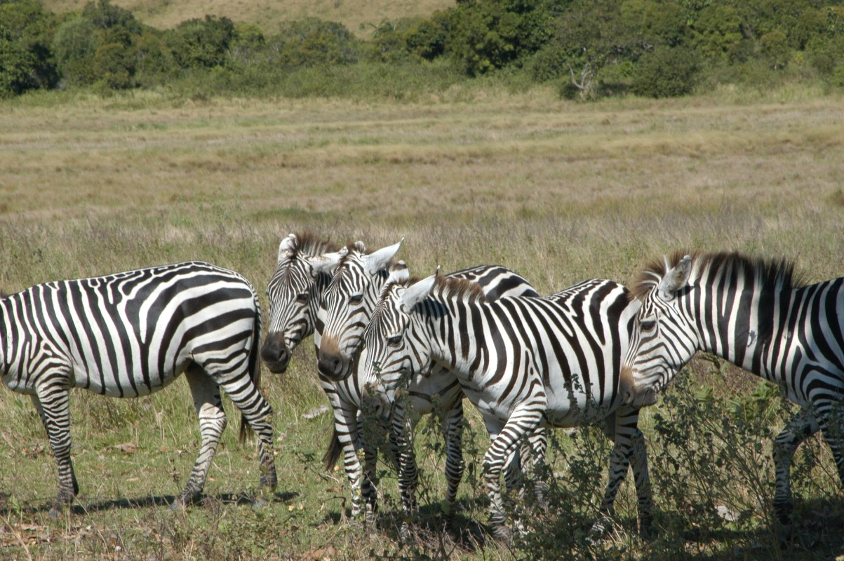 Click image for larger version  Name:1 Zebra DSC_0063.JPG Views:145 Size:336.8 KB ID:60557