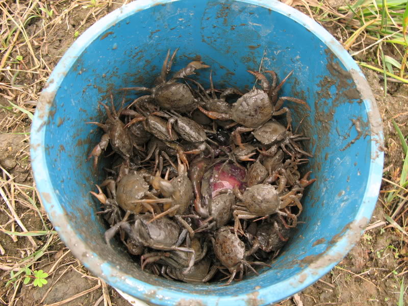 Click image for larger version  Name:crabs-in-bucket.jpg Views:54 Size:151.1 KB ID:63949