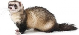 Click image for larger version  Name:ferret.jpg Views:97 Size:6.0 KB ID:73073