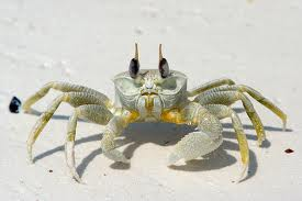 Click image for larger version  Name:ghost crab.jpg Views:63 Size:6.5 KB ID:76933